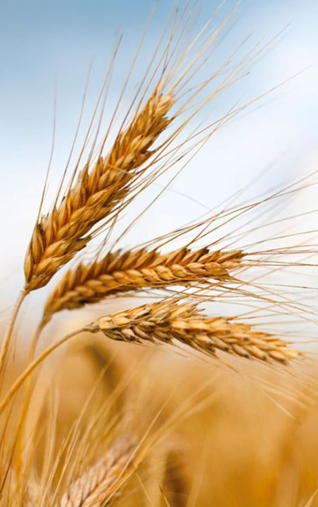 Il chicco di grano